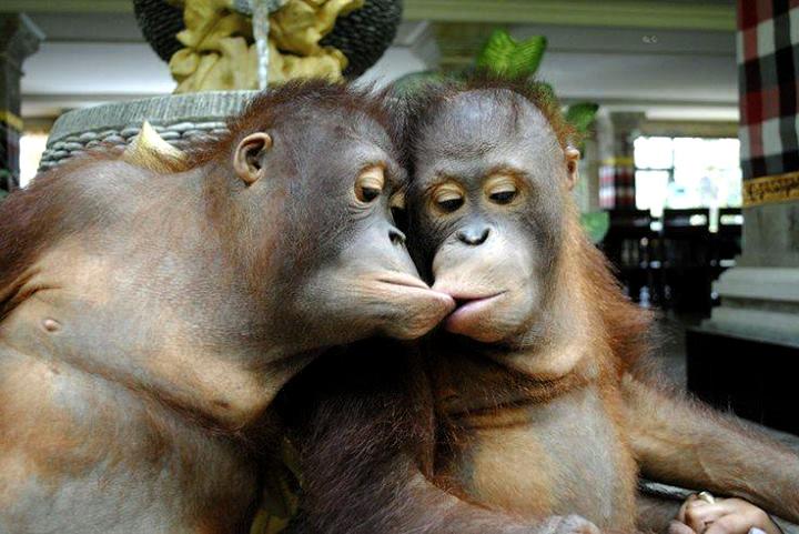 Poljubac majmuna